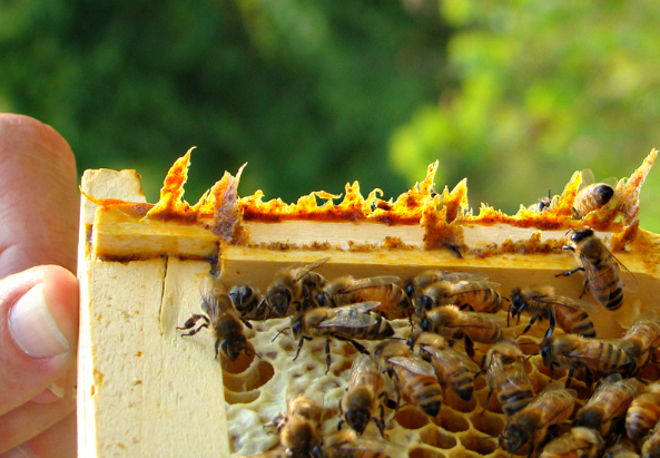 propolis-on-edge-of-frame